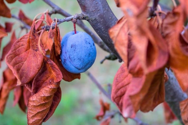 Richtige Pflege der Pflaume im Herbst: notwendige Maßnahmen