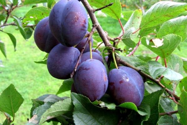 Warum trägt Pflaume keine Früchte und was kann man dagegen tun?