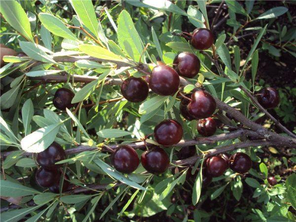 Cherry Bessey auf einem Busch