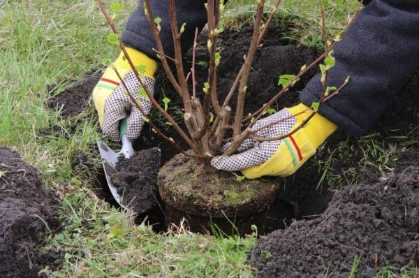 Überprüfen Sie vor dem Pflanzen die Wurzeln. Fülle den Sämling mit Erde, so dass der Wurzelkragen 3–5 cm über der Bodenoberfläche bleibt