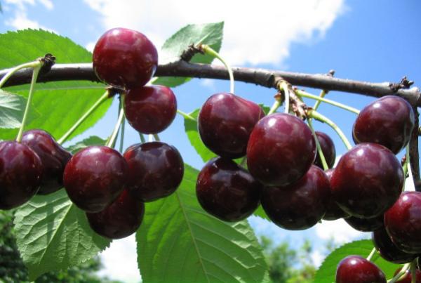 Sort Miracle Cherry