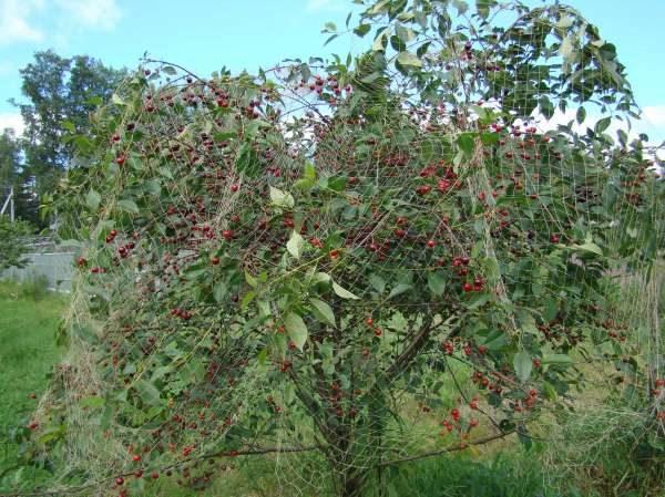 Vielzahl Cherry Lyubskaya