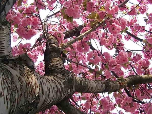 Japanische Kirsch-Sakura: beschreibende Eigenschaften des Baumes, Pflanzung, Pflege, Sorten