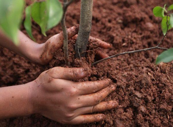 Wie und wann ist es besser, den Abfluss anzubauen und neu zu bepflanzen: eine schrittweise Anleitung zum Anpflanzen und zur Pflege