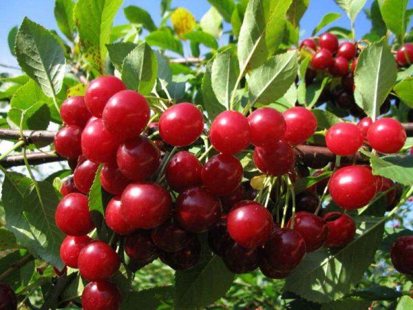 Kirschbaumsorten Lyubskaya