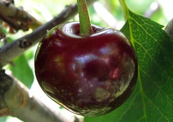 Wladimirskaja-Kirschsorte: Baumbeschreibung, Pflanzung und Pflege, Schutz vor Krankheiten und Schädlingen