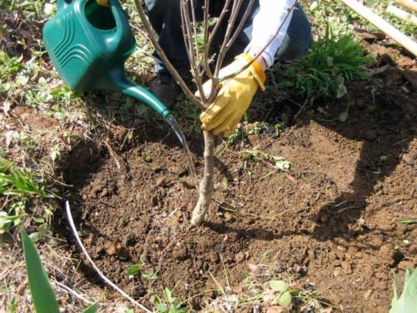 Die Stadien und Vorteile der Pflanzung von Kirschen im Herbst, die Wahl der Sämlinge und Orte