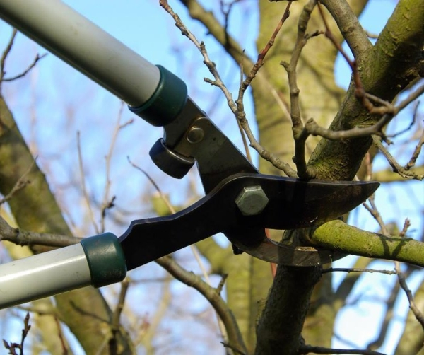 Der Frühjahrsbeschnitt eines alten Kirschbaums bietet die Möglichkeit, den Ertrag zu verbessern