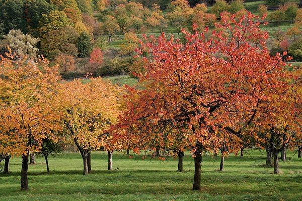 Kirsche braucht Herbstpflege