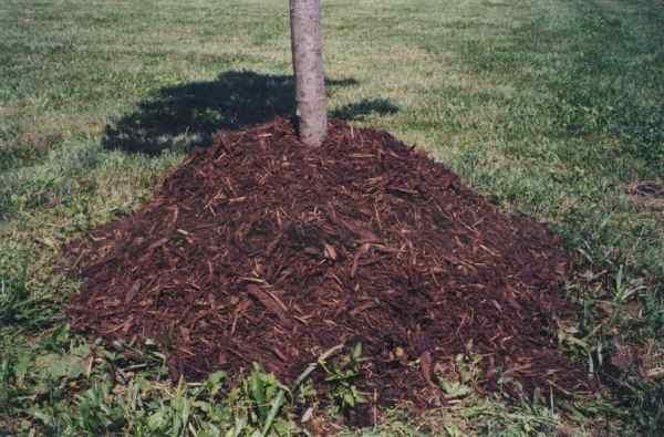 Das Mulchen des Bodens hilft, die Wurzeln der Kirschen vor Frost zu schützen