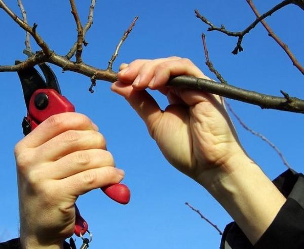 Die Kronenbildung beginnt, nachdem der Baum das Alter von vier Jahren erreicht hat, die beste Zeit dafür ist die zweite Märzhälfte.