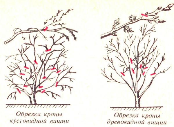 Busch- und Baumsorten von Kirschen erfordern unterschiedliche Beschneidungsansätze