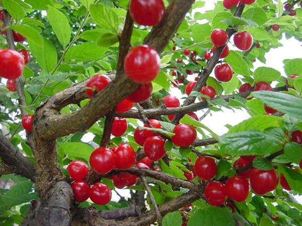 Gefilzte Kirschen sollten jedes Jahr geschnitten werden, da die Krone verdickt ist und die Früchte nur einjährige Triebe haben.