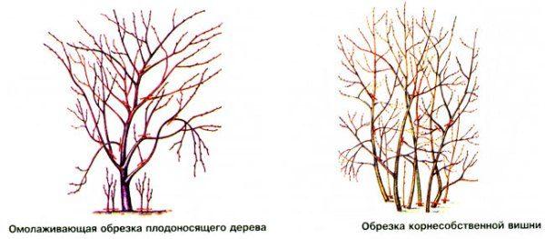 Herbstliche Beschneidungskirschen verschiedener Sorten