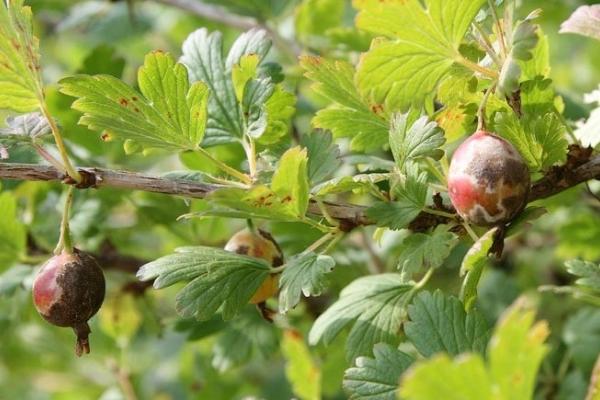 Die wichtigsten Krankheiten und Schädlinge der Stachelbeere und ihre Bekämpfung, Präventionsmaßnahmen, nützliche Tipps