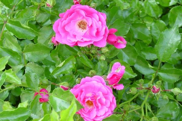 Wildrose pflanzen, die Pflanze pflegen, Fortpflanzungsmethoden