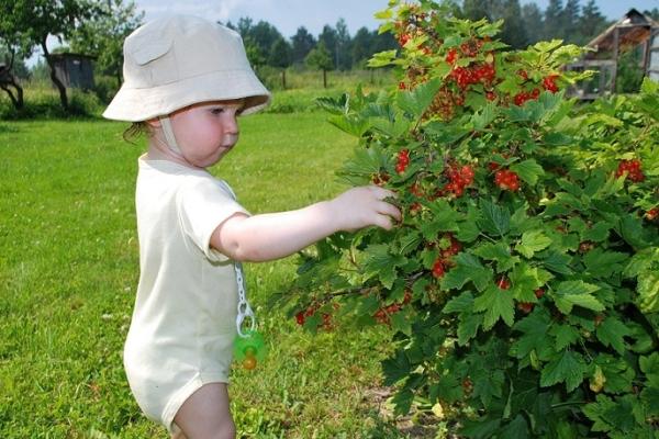 Wie kann man nach der Ernte von Beeren schwarze, rote und weiße Johannisbeeren pflegen?