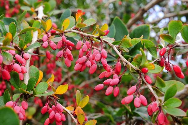 Botanische Beschreibung der üblichen Berberitze, nützliche Eigenschaften, Pflanzung und Pflege