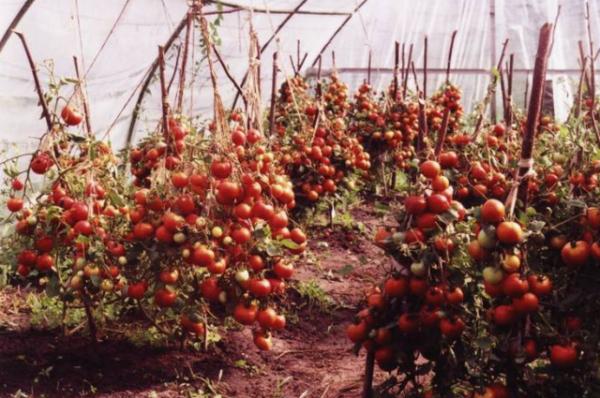 Tomatenzuckerbison im Gewächshaus