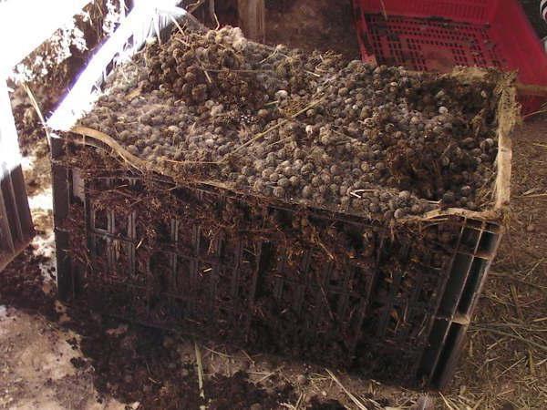 Kaninchenmist in trockener Form