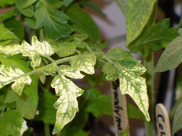 Erleuchtete Blätter auf Tomatensämlingen