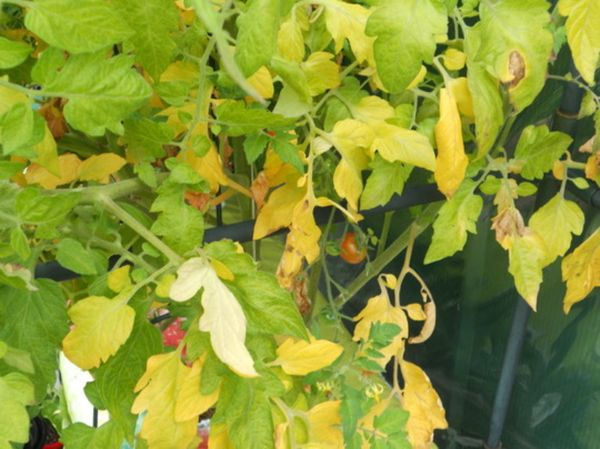 Warum werden die Blätter von Tomaten gelb?