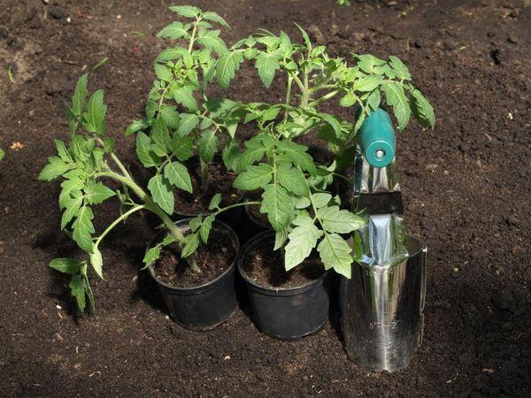 Die Pflanzung von Setzlingen von Tomaten im Gewächshaus erfolgt im Alter von 55 bis 60 Tagen