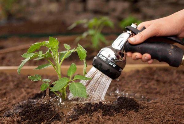 Das Gießen einer Tomate darf ausschließlich unter der Wurzel erfolgen.