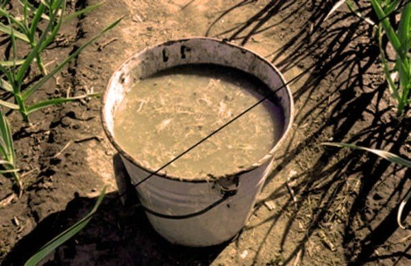 In flüssiger Form liefert Mist von Kaninchen schnell nützliche Substanzen in den Boden.