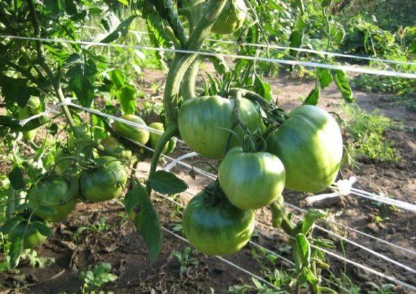 Mehr grüne Tomatensorten Zucker Bison