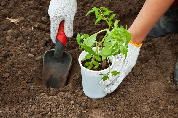 Das Pflanzen von Sämlingen in der Erde erfolgt Ende Mai bis Anfang Juni