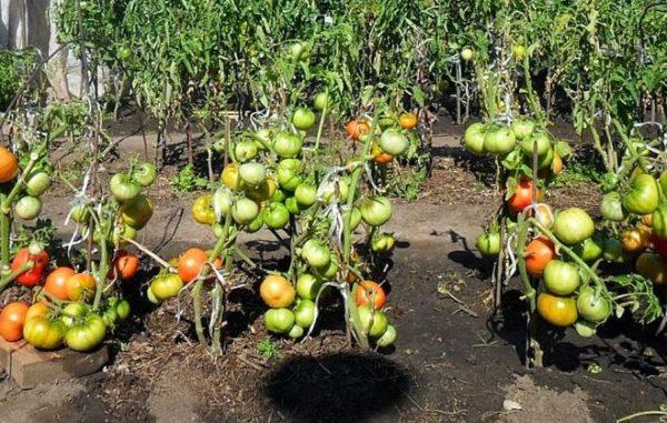 Tolerieren Sie nicht abrupt Tomaten im Schatten der Sonne.