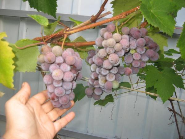 Beeren für die Weinherstellung sind besser im Herbst zu sammeln