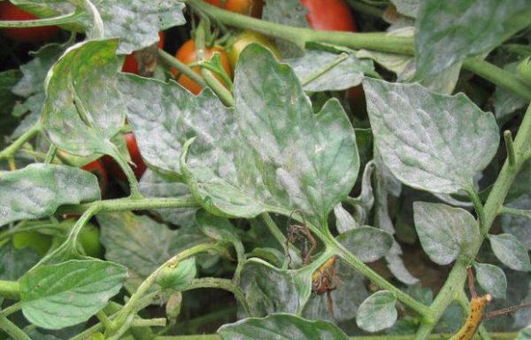 Mehltau-Blätter