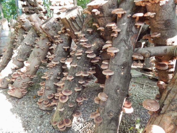 Wachsende Pilze auf Stümpfen