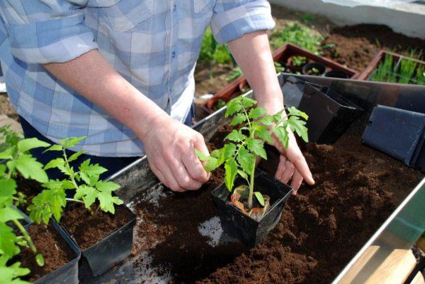 Kümmern Sie sich um Tomatensetzlinge