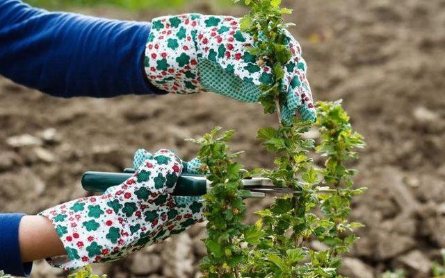 Stachelbeere Herbst Pflege Pruning Top Dressing