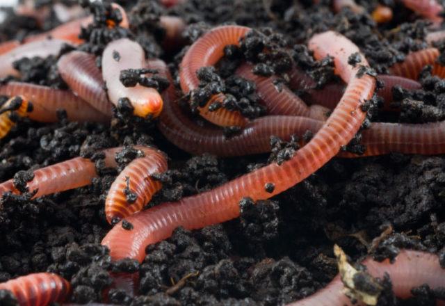 Regenwürmer zu Hause züchten
