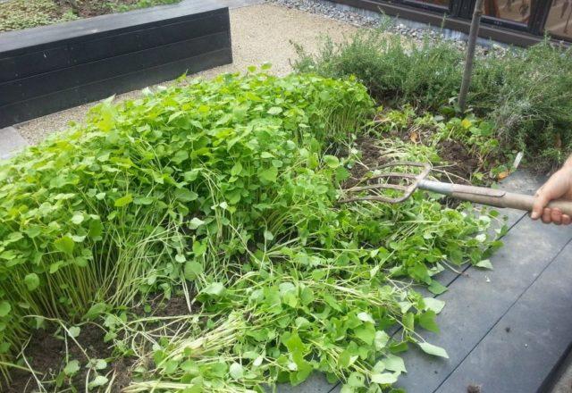 Siderata im Garten