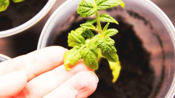 Gelbe Blätter von Tomaten hautnah