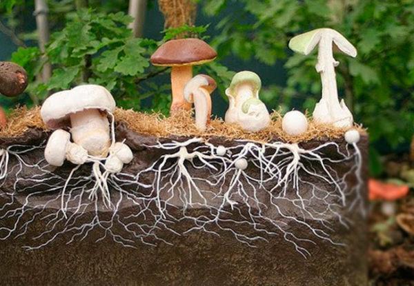Das Schema des Wachstums von Pilzen aus dem Myzelium im Schnitt