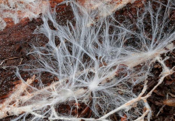 Pilzmycelium