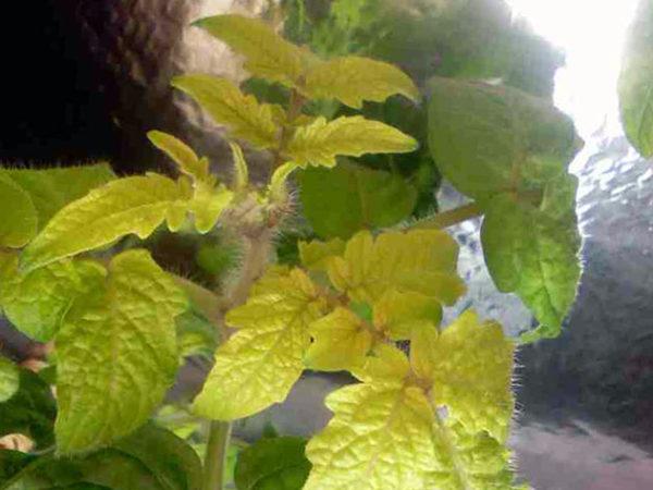 Aufgrund eines Stickstoffmangels werden die Blätter der Pflanzen schwächer und vergilben.