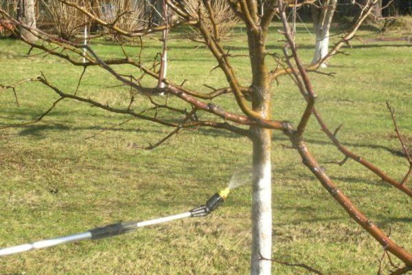 Neben Bäumen ist es wünschenswert, benachbarte Bereiche zu besprühen