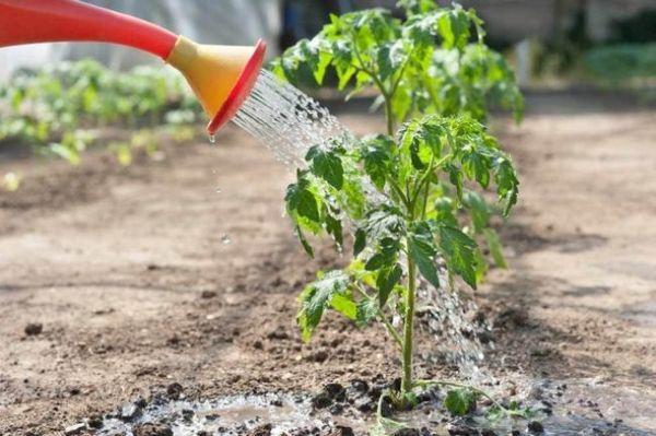 wie man Tomatensetzlinge füttert