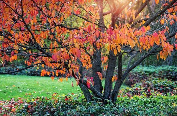 Pflaume im Herbst