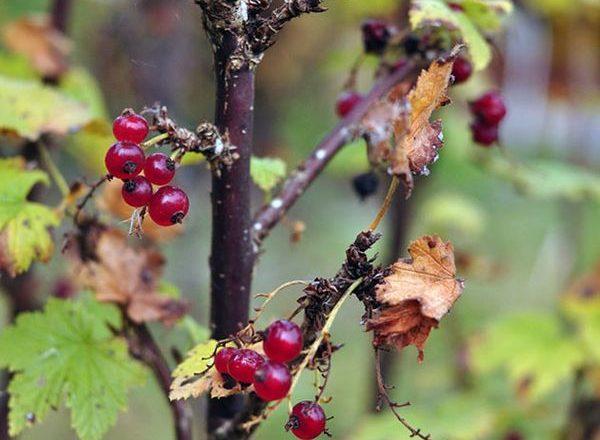 Pflege für Johannisbeeren im Herbst