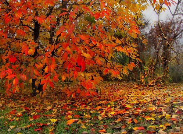 Top-Dressing von Kirschen im Herbst