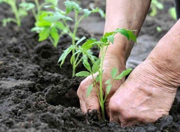 Verpflanzung der Sämlingstomate im Gewächshaus