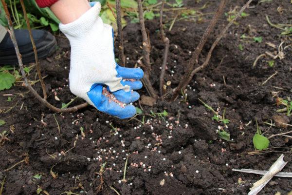 Obstbäume und Sträucher brauchen nach der Fruchtbildung Dünger